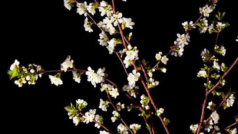 Cherry blossom on the black background, timelapse (Prunus... Stock Video Footage