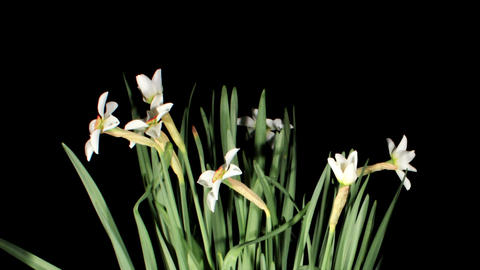 White narcissus blossom on the black background. timelapse Stock Video Footage