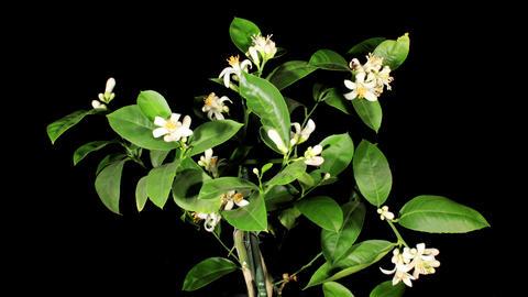 Lemon blossoms on the black background (Citrus limon L.)... Stock Video Footage