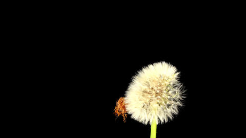 Time-lapse Of Growing And Opening Dandelion (Taraxacum) Stock Video Footage