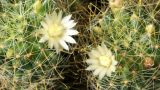 Time-lapse Opening white Mammillaria (Mammillaria  Footage