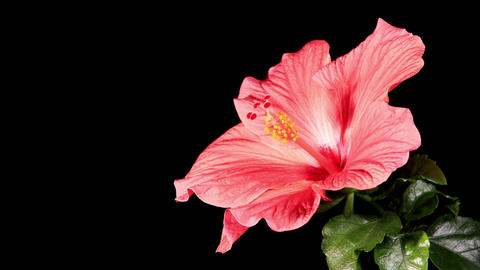 Blooming pink Hibiscus on a black background (Hibi Stock Video Footage