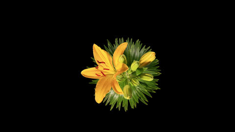 Flowering yellow lily on the black background (L. prominet) Stock Video Footage