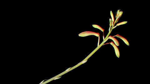 Flowering Aloe on the black background (Aloe aristata.... Stock Video Footage