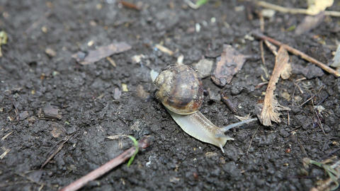 snail crawls(Helix pomatia) Stock Video Footage