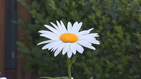 chamomile 1 Stock Video Footage