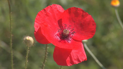 red poppy 1 Stock Video Footage