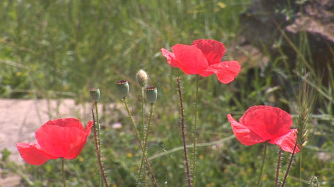 red poppy 3 Stock Video Footage