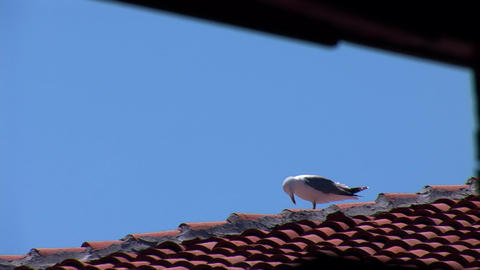 seagull 1 Footage