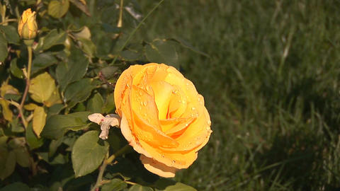 yellow rose 1 Stock Video Footage