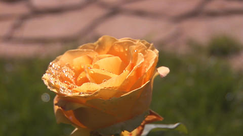 yellow rose 3 Stock Video Footage