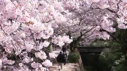 Cherry blossoms of Tetsugaku philosophy road Footage
