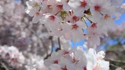 風にゆれる桜 Footage