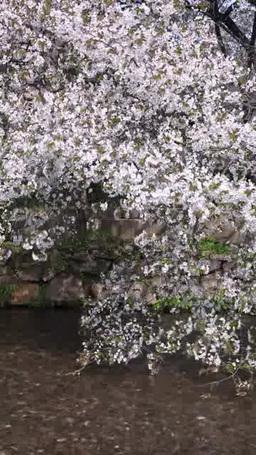 桜と白川の流れ Footage