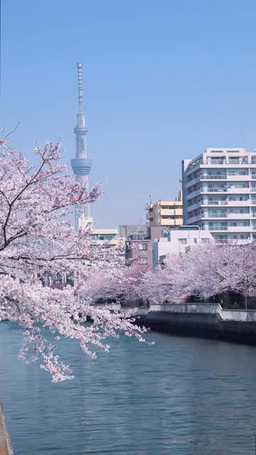 Tokyo Sky tree and cherry tree Footage