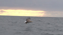 White-tailed Eagle catching a fish Footage