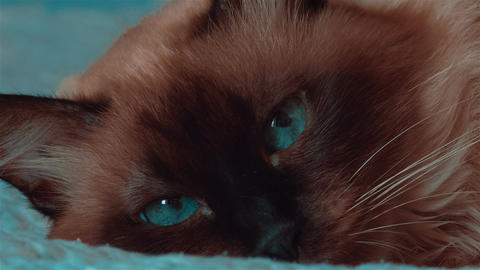 Ultra Close-up Of Siamese Cat With Moving Blue Eyes stock footage