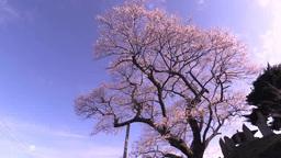 吉野辺の種まき桜 影片素材