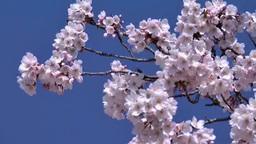 彦根城桜 Footage