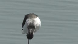 干潟に一本足で立つセイタカシギ Footage