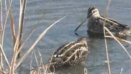 水浴びをする二羽のタシギ Footage