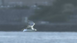Flying Black-headed Gull Footage