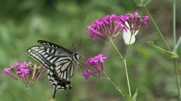 アゲハチョウと寄り添って飛ぶモンシロチョウ Footage