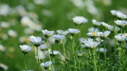 クリサンセマムの花 Footage