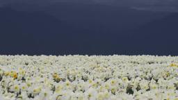 Narcissus flower Footage