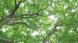 Sunlight through the beech forest Footage
