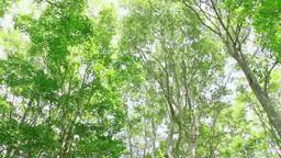 風に揺れるブナ林 Footage