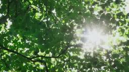 夏の風に揺れる葉と光芒 Footage