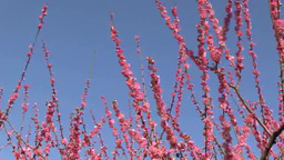 Early spring plum flowers Footage