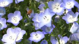 初夏の花のネモフィラの花粉を採集するミツバチ Footage