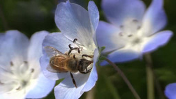 初夏の花のネモフィラの蜜を吸うミツバチ Footage