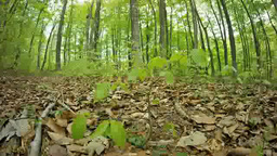 Young beech trees Footage
