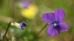 Violet Footage
