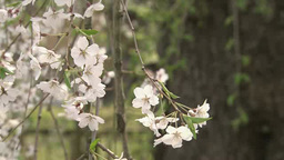 Weeping cherry tree in Kakunodate Footage