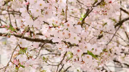 Cherry blossom in full bloom Footage