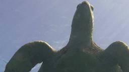 Green Sea Turtle stock footage