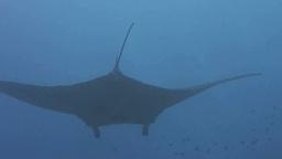 Manta ray Footage