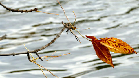Water and autumn yellow leaves Footage