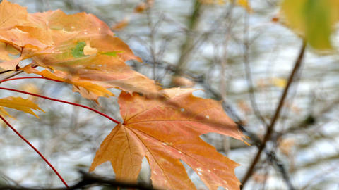 Yellow Maple Leaves And Water In A Pond stock footage