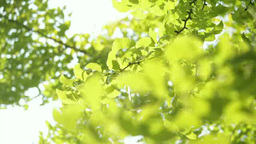 Ginkgo biloba leaves Footage