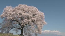 わに塚の一本桜と八ヶ岳 Footage