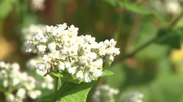Buckwheat flowers Footage