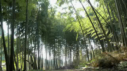 Bamboo trees swinging with wind in Kamakura, Japan Footage