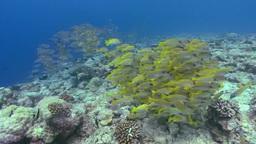 School of bluestripe snapper swimming in ocean Footage
