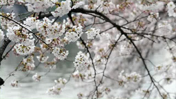 Close-up of cherry blossoms in Tokyo, Japan Footage