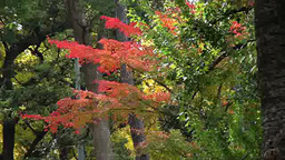 Maple trees in autumn in Tokyo, Japan Footage